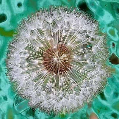 Photograph - Dandelion by Larry Eicher