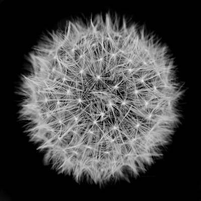 Photograph - Dandelion Macro Abstract Black White by Jennie Marie Schell