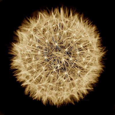 Dandelion Macro Abstract Sepia Brown Art Print