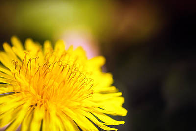 Photograph - Dandelion Macro by Sennie Pierson
