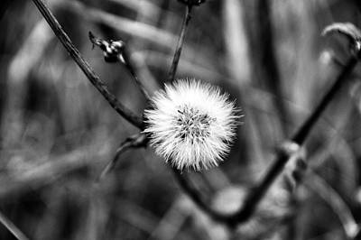 Photograph - Dandelion by Marco Oliveira