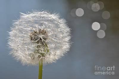Photograph - Dandelion by Martin Capek