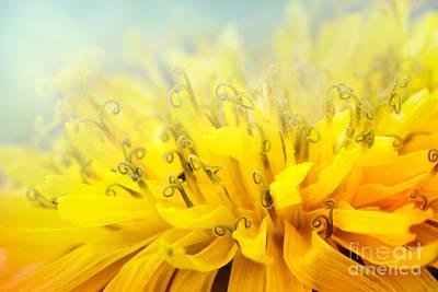 Dandelion  Art Print by Mythja  Photography
