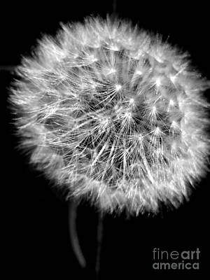 Photograph - Dandelion On Black by Nina Ficur Feenan