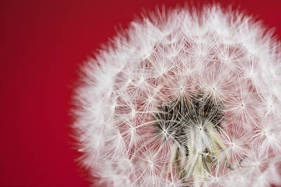 Photograph - Dandelion On Red by Vishwanath Bhat