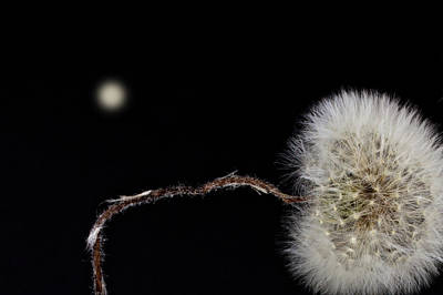 Photograph - Dandelion Parachute Ball by Bob Orsillo