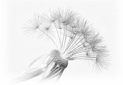 Downy Photograph - Dandelion by Pete Tombs