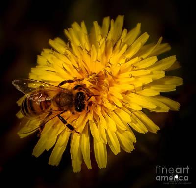 Photograph - Dandelion Pollination by Grace Grogan