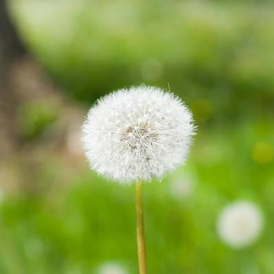 Photograph - Dandelion Puffball by Nila Newsom