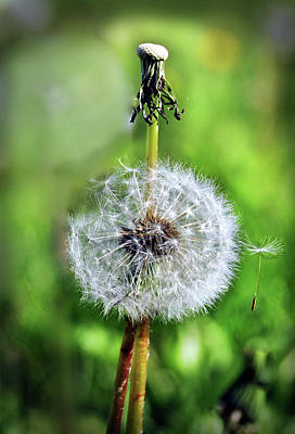 Photograph - Dandelion Released by Joanne Brown