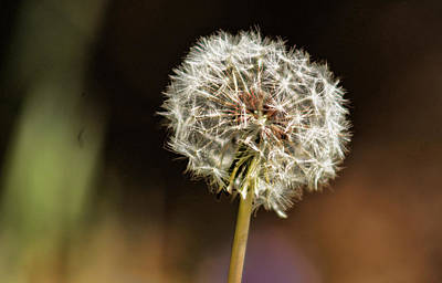 Photograph - Dandelion by Ron Roberts