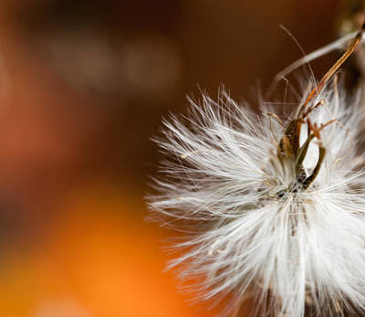 Fuzzy Digital Art - Dandelion Seed Head And Fall Color Background by Optical Playground By MP Ray