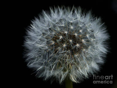 Photograph - Dandelion Seed Head On Black by Sharon Talson