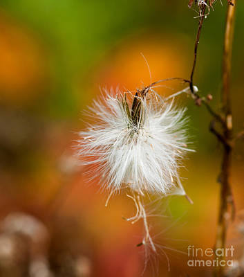 Fuzzy Digital Art - Dandelion Seed Head With Fall Colors by Optical Playground By MP Ray