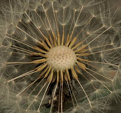 Photograph - Dandelion Seed Pod by Elery Oxford