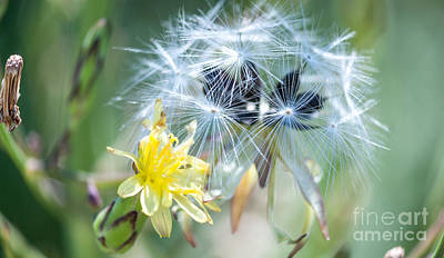 Dandelion Clock Digital Art - Dandelion Seeds And Flower by Optical Playground By MP Ray