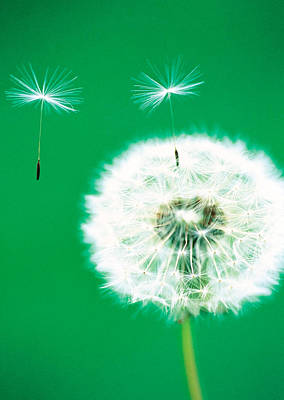 Colored Background Photograph - Dandelion Seeds Flying, Close-up View by Panoramic Images