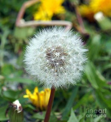 Photograph - Dandelion Seeds by Rachel Munoz Striggow