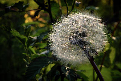 Dandelion Seeds Ready To Be Dispersed Art Print