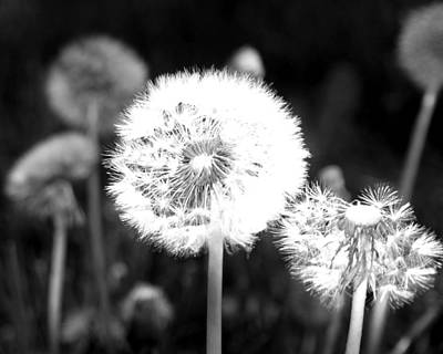 Photograph - Dandelion Seeds by Tarey Potter