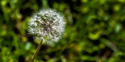 Photograph - Dandelion Sparklers On Green by Ed Gleichman