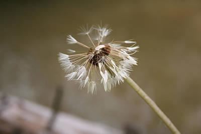 Photograph - Dandelion by Stephanie  Kriza