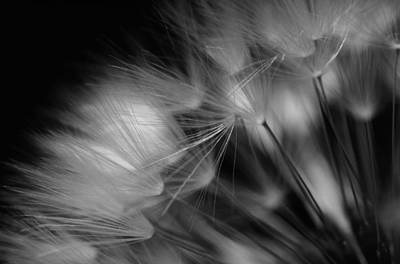 Photograph - Dandelion Study #1 by David Hawkins-Weeks