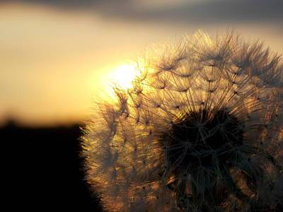 Dandelion Sunset Art Print