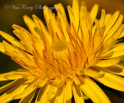 Photograph - Dandelion by Van Corey