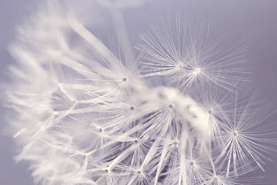 Photograph - Dandelion Weed Lavender by Jennie Marie Schell