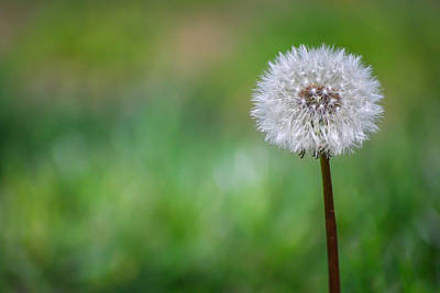 Photograph - Dandelion Wish by Terry DeLuco