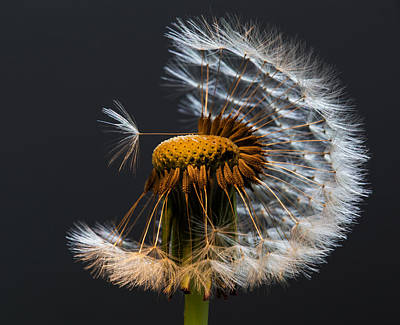 Photograph - Dandelion Wishes by Angie Vogel