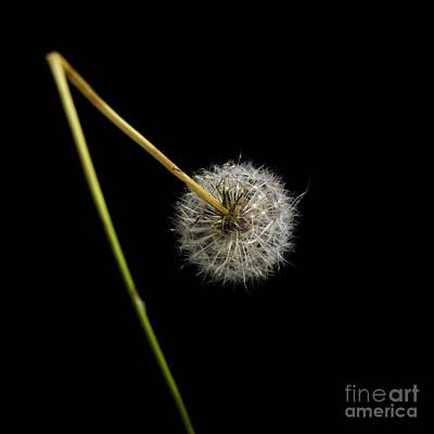 Single Object Photograph - Dandelion With Broken Stem. by Bernard Jaubert