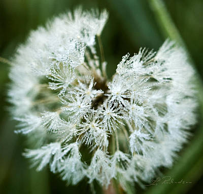 Ns Photograph - Dandelion With Frost by Iris Richardson