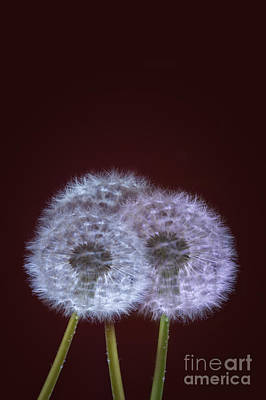 Dandelion Digital Art - Dandelions by Donald Davis