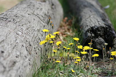 Photograph - Dandelions I by Barbara Bardzik