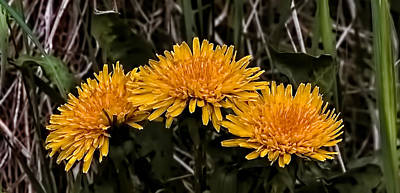 Springflowers Photograph - Dandelions In Group  By Leif Sohlman by Leif Sohlman
