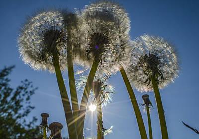 Dandelions In The Sun Art Print by Adam Budziarek