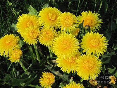 Photograph - Golden Dandelions by Conni Schaftenaar