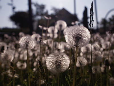 Photograph - Dandelions by Miguel Winterpacht