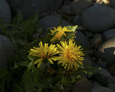 Photograph - Dandelions by Rhonda McDougall