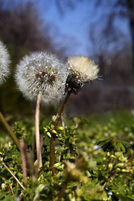 Photograph - Dandelions by Robert Camp