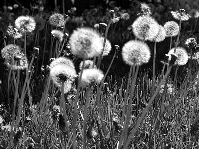 Photograph - Dandelions by Tarey Potter
