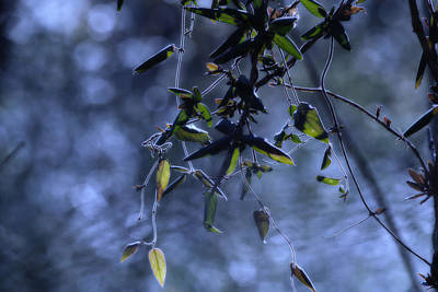 Photograph - Dangling Leaves by J Riley Johnson