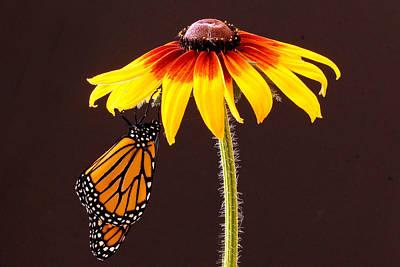 Photograph - Dangling Monarch by Jean Noren