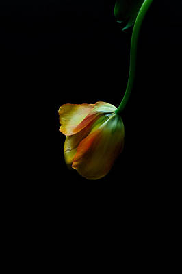 Art Print featuring the photograph Dangling Tulip by Marwan Khoury