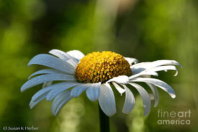 Photograph - Dapper Daisy by Susan Herber