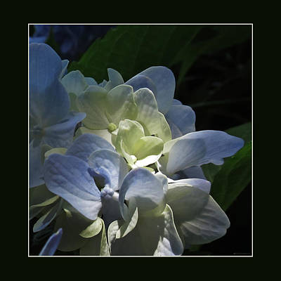 Photograph - Dappled Hydrangea by Deborah Smith