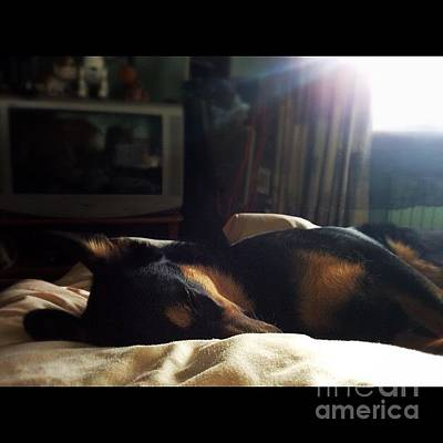 Gsd Photograph - #darcy #germanshepherd #gsd by Isabella F Abbie Shores