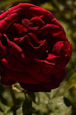 Reid Park Photograph - Dark Arizona Rose by Michael McGowan